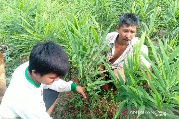 Mahasiswa Polbangtan Medan bagi trik tingkatkan produktivitas jahe petani Sibolangit