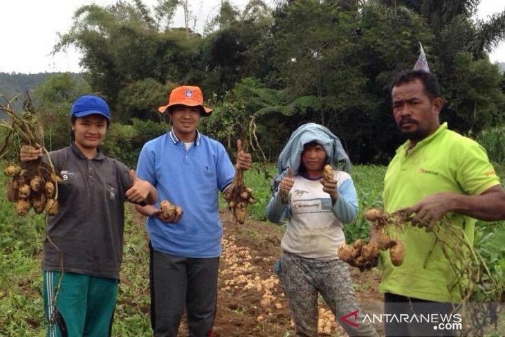 Petani Toba panen kentang bersama mahasiswa Polbangtan Medan