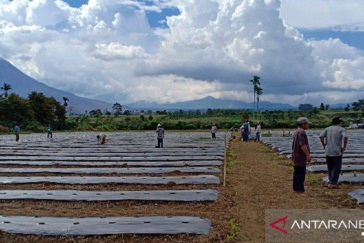 Ditengah harga tidak stabil, Mahasiswa Polbangtan Medan bantu petani Karo tanam cabai