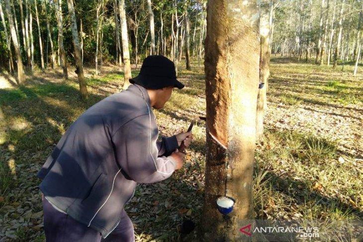 Dampak COVID-19, Mahasiswa Polbangtan Medan sebut harga karet petani Sumsel semakin turun