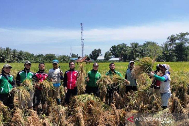 Mahasiswa Polbangtan Medan panen raya padi di Namorambe