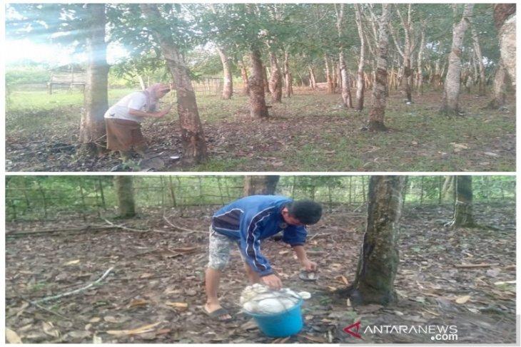 Mahasiswa Polbangtan Medan sadap dan panen karet warga Banyuasin