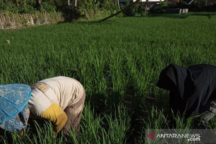 Penangulangan gulma padi sawah bersama mahasiswi Polbangtan Medan di Madina